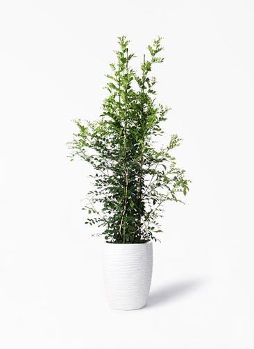 観葉植物 シルクジャスミン(げっきつ) 10号 サン ミドル リッジ 白 付き
