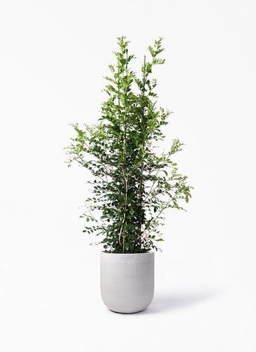 観葉植物 シルクジャスミン(げっきつ) 10号 バルゴ モノ ライトグレー 付き