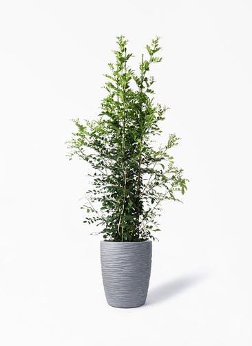 観葉植物 シルクジャスミン(げっきつ) 10号 サン ミドル リッジ 灰 付き