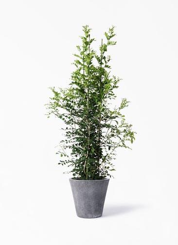 観葉植物 シルクジャスミン(げっきつ) 10号 フォリオソリッド ブラックウォッシュ 付き