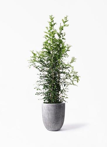 観葉植物 シルクジャスミン(げっきつ) 10号 フォリオアルトエッグ ブラックウォッシュ 付き