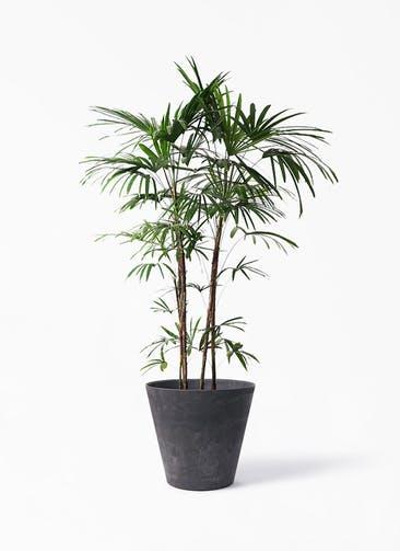 観葉植物 シュロチク(棕櫚竹) 10号 アートストーン ラウンド ブラック 付き