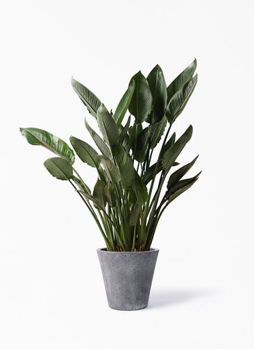 観葉植物 ストレリチア レギネ 10号 フォリオソリッド ブラックウォッシュ 付き