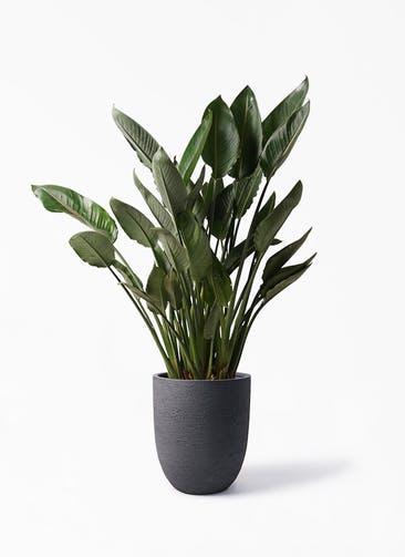 観葉植物 ストレリチア レギネ 10号 ビアスアルトエッグ ブラック 付き