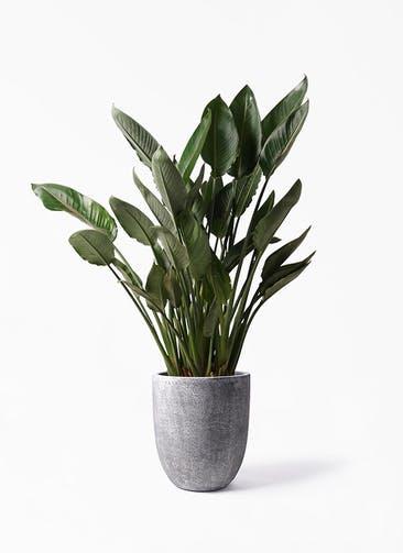 観葉植物 ストレリチア レギネ 10号 フォリオアルトエッグ ブラックウォッシュ 付き