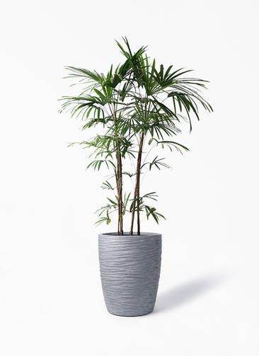 観葉植物 シュロチク(棕櫚竹) 10号 サン ミドル リッジ 灰 付き