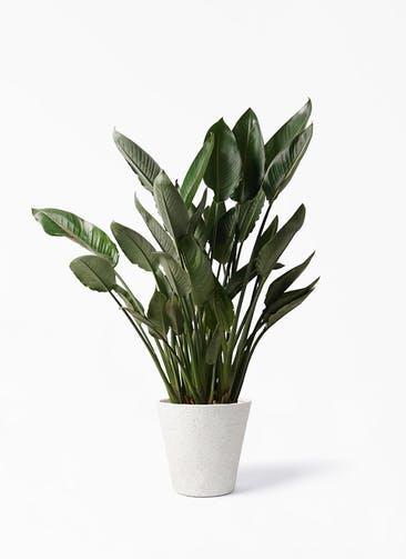 観葉植物 ストレリチア レギネ 10号 ビアスソリッド アイボリー 付き