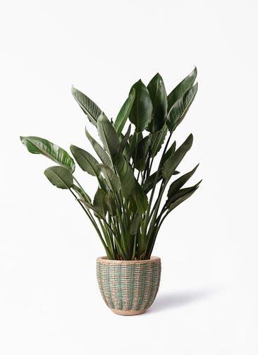 観葉植物 ストレリチア レギネ 10号 マラッカ ダイドグリーン 付き