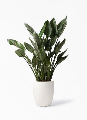観葉植物 ストレリチア レギネ 10号 フォリオアルトエッグ クリーム 付き