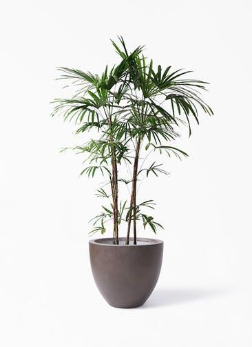観葉植物 シュロチク(棕櫚竹) 10号 エルム ラウンド ブラウン 付き