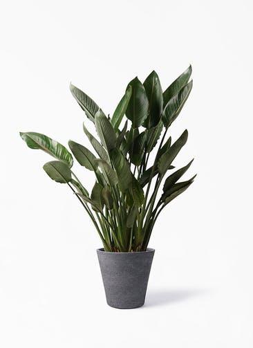 観葉植物 ストレリチア レギネ 10号 ビアスソリッド ブラック 付き