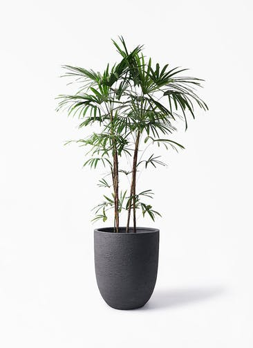 観葉植物 シュロチク(棕櫚竹) 10号 ビアスアルトエッグ ブラック 付き