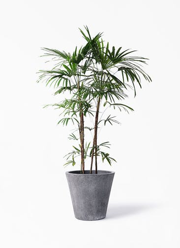 観葉植物 シュロチク(棕櫚竹) 10号 フォリオソリッド ブラックウォッシュ 付き