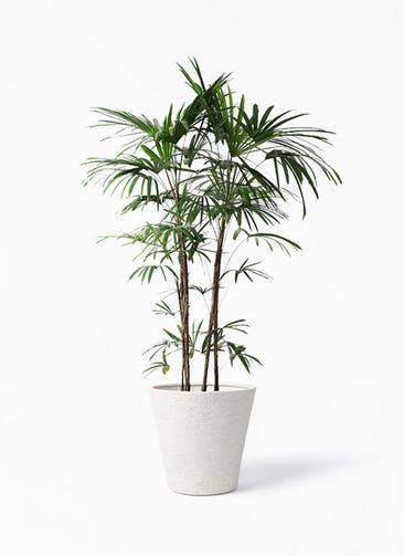 観葉植物 シュロチク(棕櫚竹) 10号 ビアスソリッド アイボリー 付き