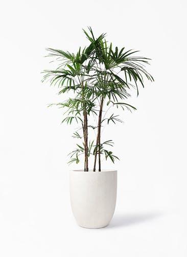 観葉植物 シュロチク(棕櫚竹) 10号 フォリオアルトエッグ クリーム 付き