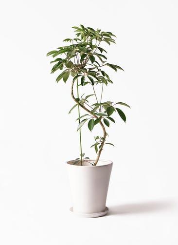 観葉植物 ツピダンサス 10号 曲り サブリナ 白 付き
