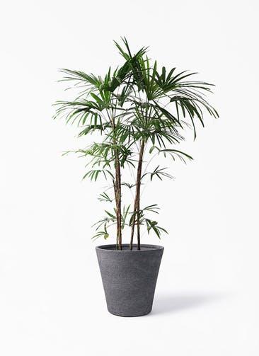 観葉植物 シュロチク(棕櫚竹) 10号 ビアスソリッド ブラック 付き