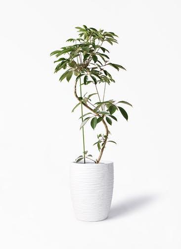 観葉植物 ツピダンサス 10号 曲り サン ミドル リッジ 白 付き