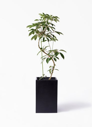 観葉植物 ツピダンサス 10号 曲り セドナロング  墨 付き