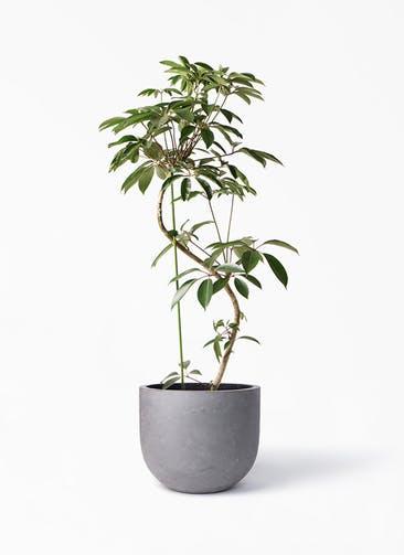 観葉植物 ツピダンサス 10号 曲り コンカー ラウンド 付き