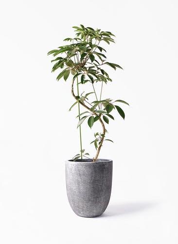 観葉植物 ツピダンサス 10号 曲り フォリオアルトエッグ ブラックウォッシュ 付き