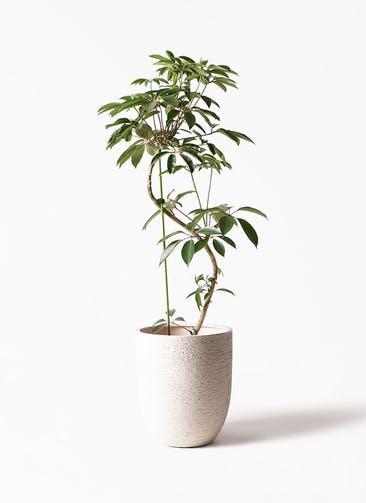 観葉植物 ツピダンサス 10号 曲り ビアスアルトエッグ 白 付き