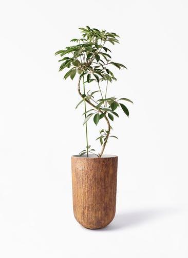 観葉植物 ツピダンサス 10号 曲り バル トール ラスティ 付き