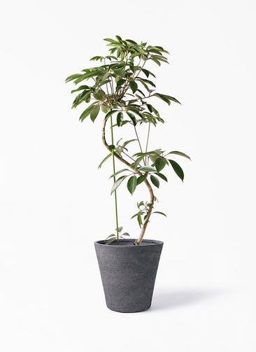 観葉植物 ツピダンサス 10号 曲り ビアスソリッド ブラック 付き