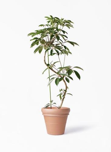 観葉植物 ツピダンサス 10号 曲り トスカーナ リムポット 付き