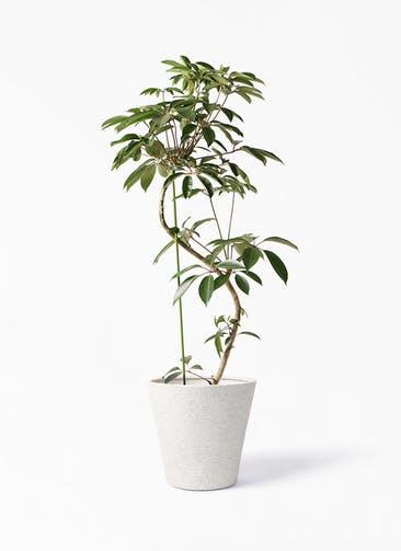 観葉植物 ツピダンサス 10号 曲り ビアスソリッド アイボリー 付き