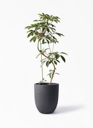 観葉植物 ツピダンサス 10号 曲り ビアスアルトエッグ ブラック 付き