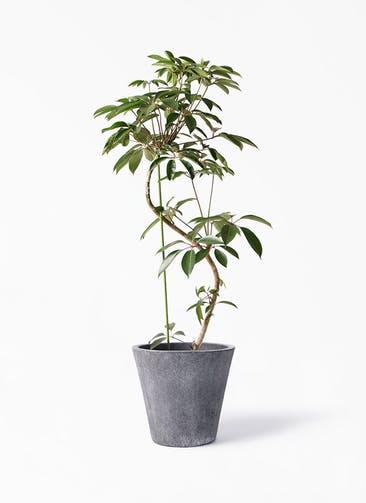 観葉植物 ツピダンサス 10号 曲り フォリオソリッド ブラックウォッシュ 付き