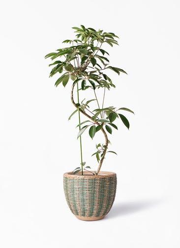 観葉植物 ツピダンサス 10号 曲り マラッカ ダイドグリーン 付き