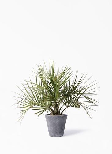 観葉植物 ココスヤシ (ヤタイヤシ) 10号 フォリオソリッド ブラックウォッシュ 付き