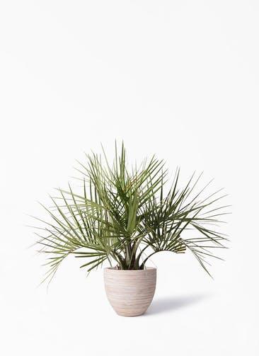 観葉植物 ココスヤシ (ヤタイヤシ) 10号 マラッカ クリームウォッシュ 付き