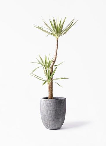 観葉植物 ユッカ 10号 斑入り フォリオアルトエッグ ブラックウォッシュ 付き
