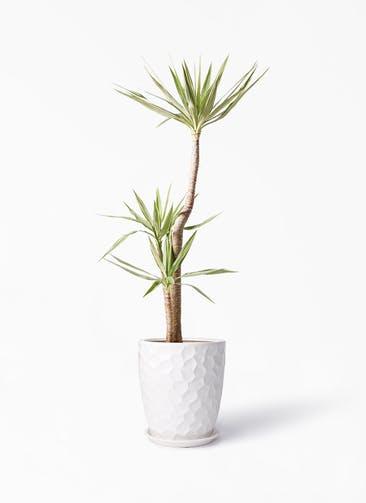 観葉植物 ユッカ 10号 斑入り サンタクルストール 白 付き