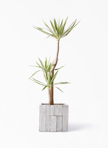 観葉植物 ユッカ 10号 斑入り パターン キューブ 付き