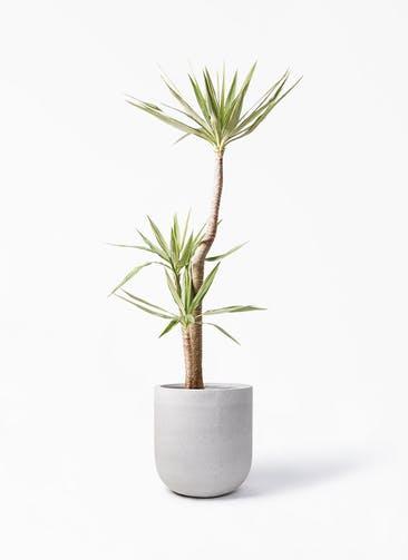 観葉植物 ユッカ 10号 斑入り バルゴ モノ ライトグレー 付き