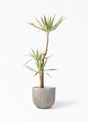 観葉植物 ユッカ 10号 斑入り バル ユーポット アンティークセメント 付き