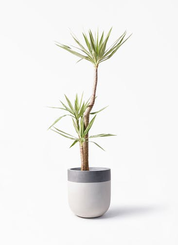 観葉植物 ユッカ 10号 斑入り バルゴ ツートーン  サンディホワイト 付き