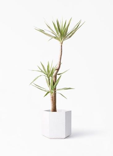 観葉植物 ユッカ 10号 斑入り コーテス ヘックス ホワイトテラゾ 付き