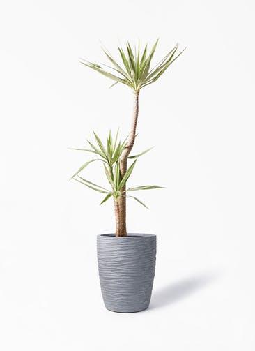 観葉植物 ユッカ 10号 斑入り サン ミドル リッジ 灰 付き
