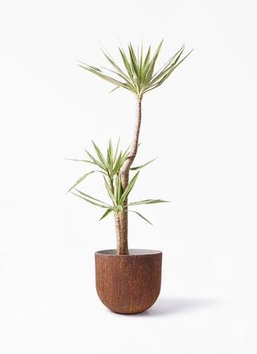 観葉植物 ユッカ 10号 斑入り バル ユーポット ラスティ  付き