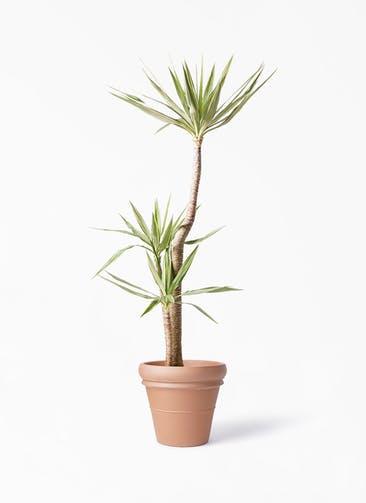 観葉植物 ユッカ 10号 斑入り トスカーナ リムポット 付き