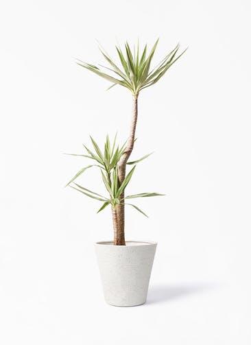 観葉植物 ユッカ 10号 斑入り ビアスソリッド アイボリー 付き