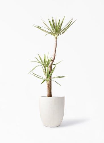 観葉植物 ユッカ 10号 斑入り フォリオアルトエッグ クリーム 付き