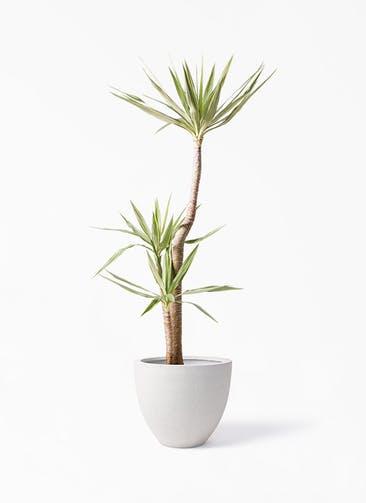 観葉植物 ユッカ 10号 斑入り スタウト アッシュラウンド  付き