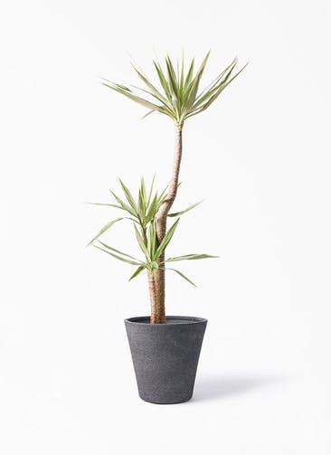 観葉植物 ユッカ 10号 斑入り ビアスソリッド ブラック 付き