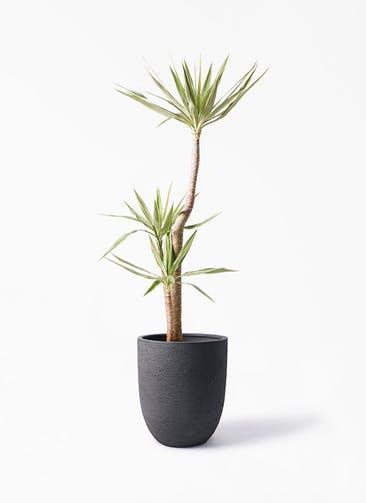 観葉植物 ユッカ 10号 斑入り ビアスアルトエッグ ブラック 付き